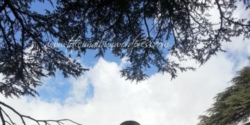 copaci si cer lebanon