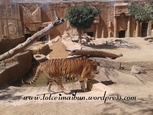 so close withe the tiger in mini hollywood SPANIA